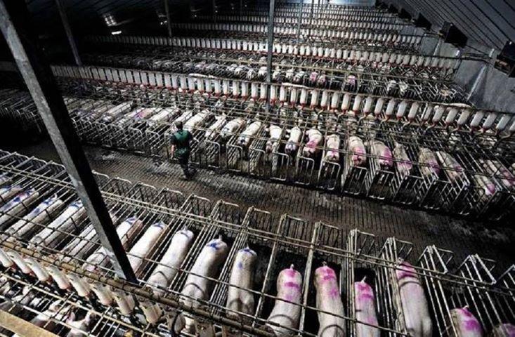 Animal abuse, whistleblower, king amendment, factory pig farm,